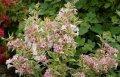 Вейгела цветущая Нана Вариегата  светло-розовая  Weigela florida высота 60-65см