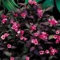 Вейгела цветущая Миднайт Вайн®  -  Ельвера  темно-роз.  Weigela florida  высота 20-30см