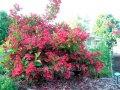 Вейгела цветущая Танго розовый   Weigela florida  высота 45-50см