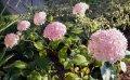 Гортензия древовидная Аннабель Hydrangea arborescens высота 25-35см
