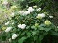 Гортензия древовидная Стронг Аннабель Hydrangea arborescens высота 90-100см