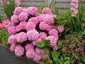 Гортензия крупнолистная Стайл Пинк Hydrangea macrophylla высота 15-25см