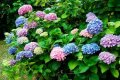 Гортензия метельчатая Грандифлора Hydrangea paniculata высота 50-55см