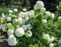 Гортензия метельчатая Лаймлайт ® Hydrangea paniculata высота 15-25см