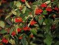 Кизильник гибридный Скогольм - Стокгольм   Cotoneaster suecicus высота 20-30см