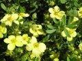 Лапчатка кустарниковая Танжерин  желтая  Potentilla fruticosa высота 30-35см