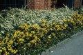 Магония падуболистная Апполо Mahonia aquifolium высота 10-15см