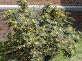 Magoniya padubolistny Appolo Mahonia aquifolium height the 15-25th