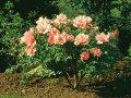 Пион древовидный  Paeonia suffruticosa высота 10-20см