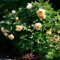Пион древовидный  Paeonia suffruticosa высота 20-25см