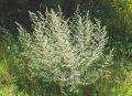 Полынь лимонная  божье дерево  Artemisia balchanorum высота 80-90см