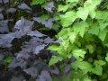 Пузыреплодник калинолистный Лютеус  Physocarpus opulifolius высота 20-30см