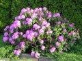 Рододендрон Гейша Оранж   Rhododendron  высота 35-50см