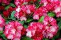 Рододендрон Мадам Галле Rhododendron  высота 35-50см