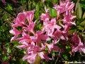 Рододендрон Поларнахт Rhododendron  высота 15-20см