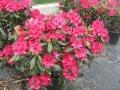 Рододендрон Скарлет Вондер  Rhododendron  высота 20-25см