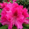 Рододендрон Скарлет Вондер  Rhododendron  высота 25-30см