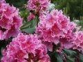 Рододендрон Шемрок Rhododendron  высота 30-40см