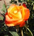 Роза Миниатюр Оранж  оранжевая  Rosa высота 30-40см