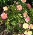 Роза Триколор желто-розово-красный   Rosa высота 25-30см