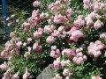 Роза полиантовая Фейри  розовая     Rosa polyantha высота 25-35см