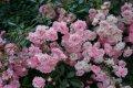 Роза полиантовая Фейри  розовая     Rosa polyantha высота 35-45см