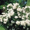 Роза полиантовая Вайт Фейри  белая  Rosa polyantha высота 20-30см