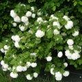 Роза полиантовая Вайт Фейри  белая  Rosa polyantha высота 20-25см