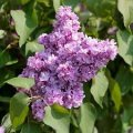 Lilac ordinary Bel de Nancie pink Syringa vulgaris height the 85-95th
