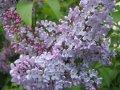 Lilac ordinary to Katerina Havemayer Syringa vulgaris height the 60-70th