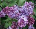 Сирень обыкновенная  Красавица москвы бело-фиолетовая Syringa vulgaris высота 40-60см