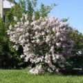 Lilac ordinary Madam Lemuan white Syringa vulgaris height the 60-70th