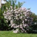 Сирень обыкновенная Массена  багряно-фиолетовая  Syringa vulgaris высота 100-110см
