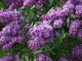 Сирень обыкновенная  Сенсация  тёмн-сиреневая с белой каймой  Syringa vulgaris высота 40-60см