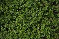 Самшит вечнозелёный черенок   Buxus sempervirens высота 15см