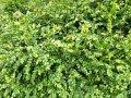 Самшит вечнозелёный   Buxus sempervirens высота 60см