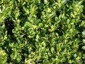 Самшит вечнозелёный   Buxus sempervirens высота 90см