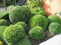 Самшит вечнозелёный Шар   Buxus sempervirens высота 25см