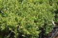 Самшит вечнозелёный Суффрутикоза  Buxus sempervirens высота 20-25см