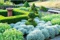 Сантолина голубая Santolina chamaecyparissus высота 8-10см