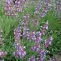 Sage medicinal Salvia officinalis the 50-55th