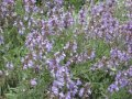 Sage medicinal Salvia officinalis the 55-65th