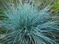 Fescue gray Festuca glauca the 5-10th