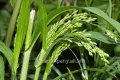 Просо виргинское Хеви Метал Panicum virgatum высота 25-35см