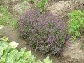 Тимьян  -  чебрец  -  ладан Thymus vulgaris 7-10см