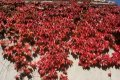 Grapes maiden triostryonny Vich Parthenocissus tricuspidata Robusta height the 30-40th