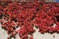 Виноград девичий триострённый Вича Робуста Parthenocissus tricuspidata высота 30-40см