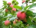 Яблоня дом. Слава Победителям Malus domestica  высота 110-130см