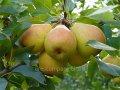 Груша обыкновенная Вильямс  летняя  Pyrus communis  высота 90-100см