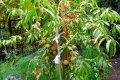 Персик домашний Коллинз  ранний  Prunus persica  высота 120-130см